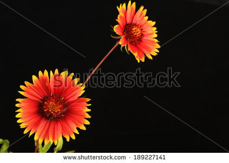 Indian Blanket Flower Stock Photos, Royalty.