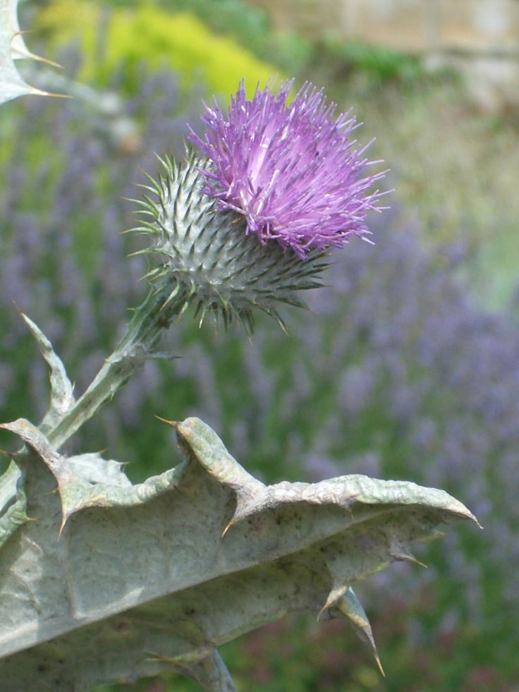 1000+ ideas about Scotland National Flower on Pinterest.