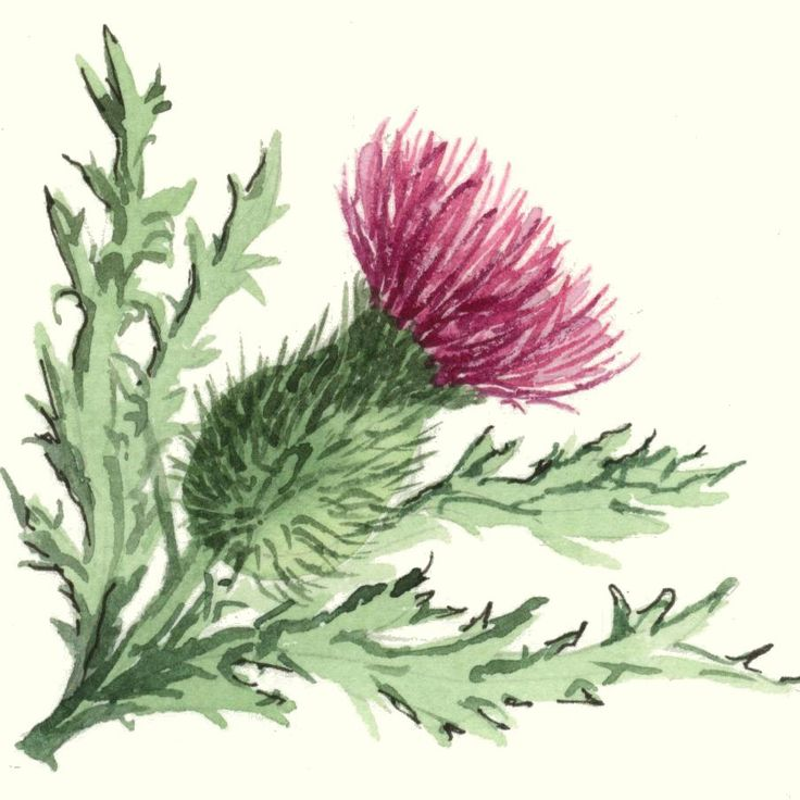 1000 Images About I Want Black Flowers On Pinterest: Off Thistle Clipart