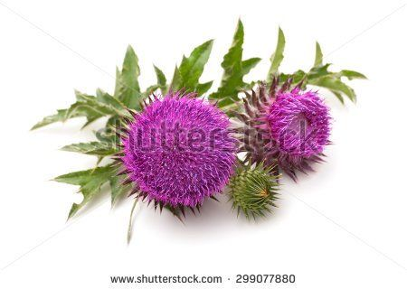 1000+ ideas about Thistle Plant on Pinterest.
