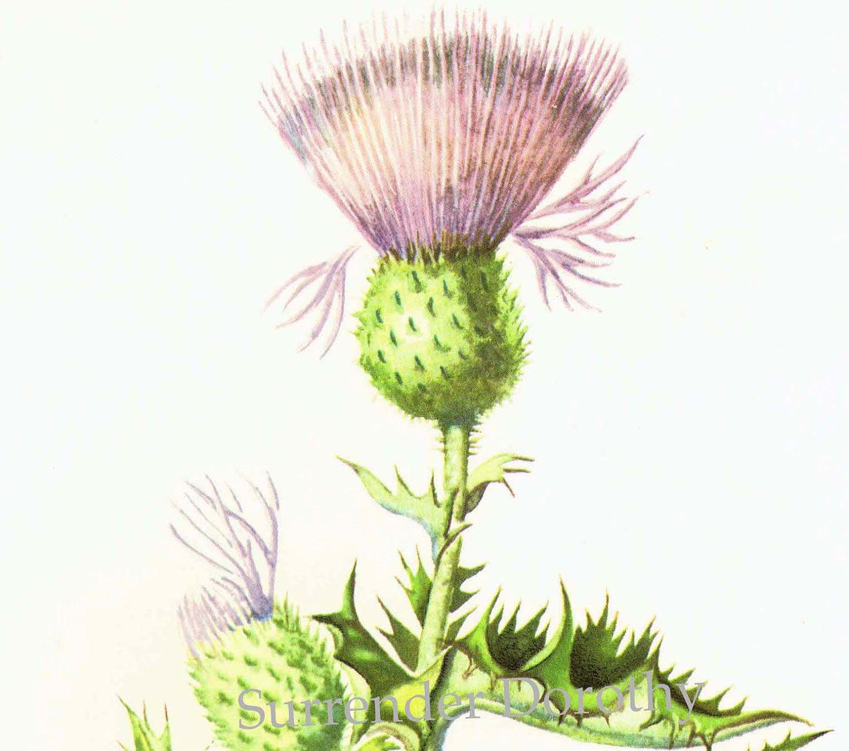 Thistle botanical.