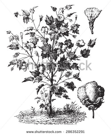 Cotton Seed Stock Vectors, Images & Vector Art.