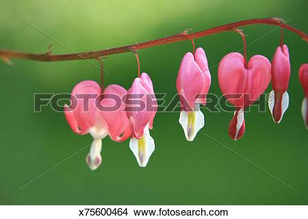 Stock Photo of Bleeding Heart Vine x75600464.