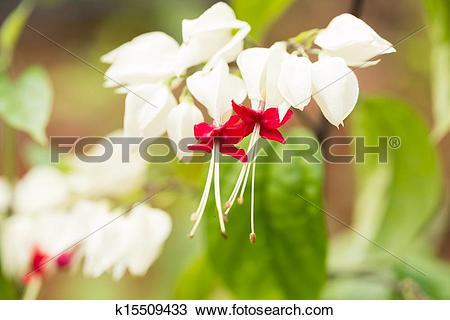 Stock Photo of Bleeding heart vine flower close up k15509433.