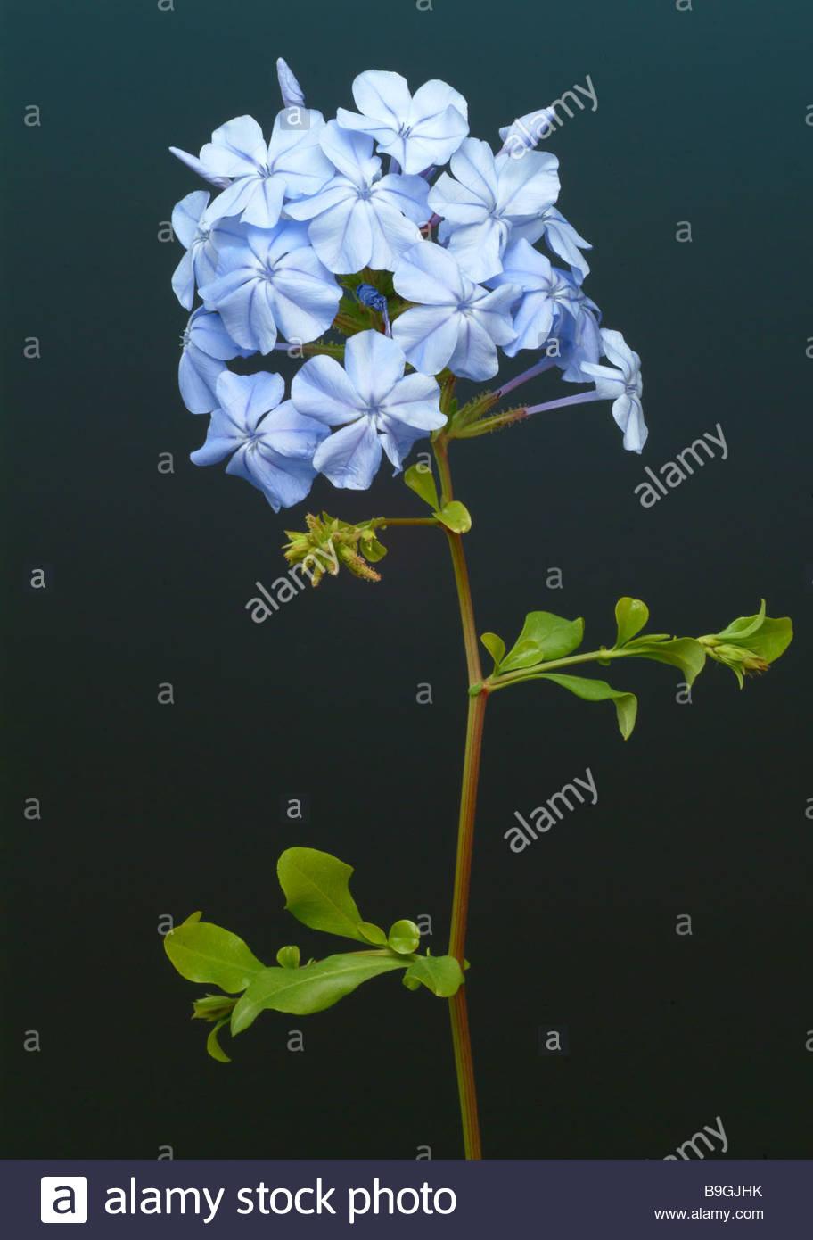 Plumbago Flower Stock Photos & Plumbago Flower Stock Images.