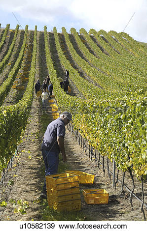Stock Photograph of Hand picking grapes in a vineyard in the.