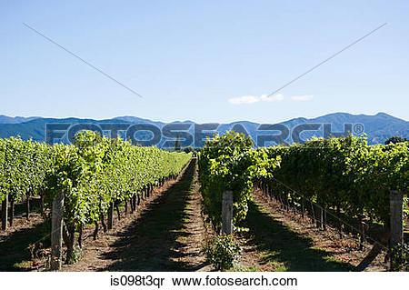 Stock Image of Marlborough, vinyards near Blenheim is098t3qr.