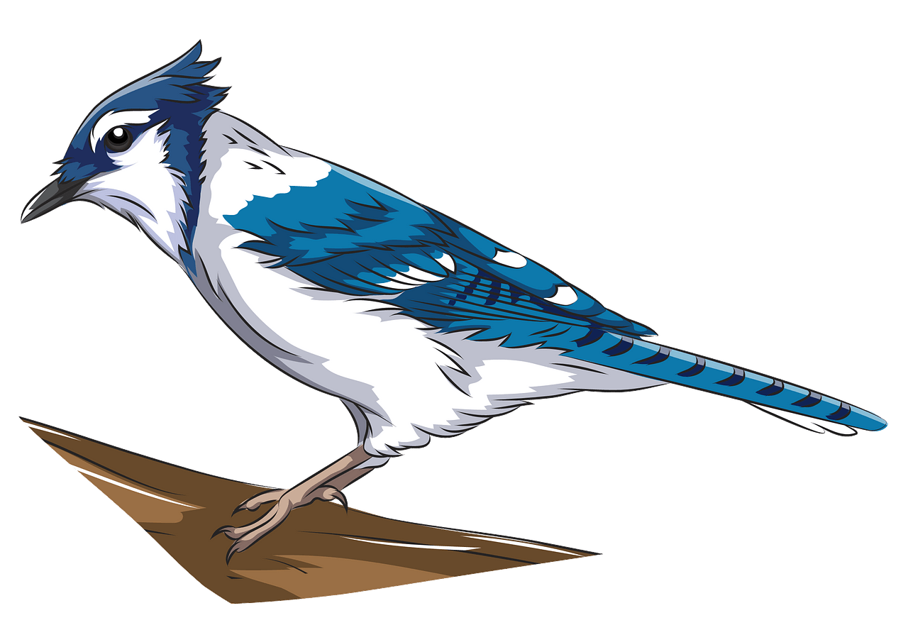 Blue jay clipart. Free download..