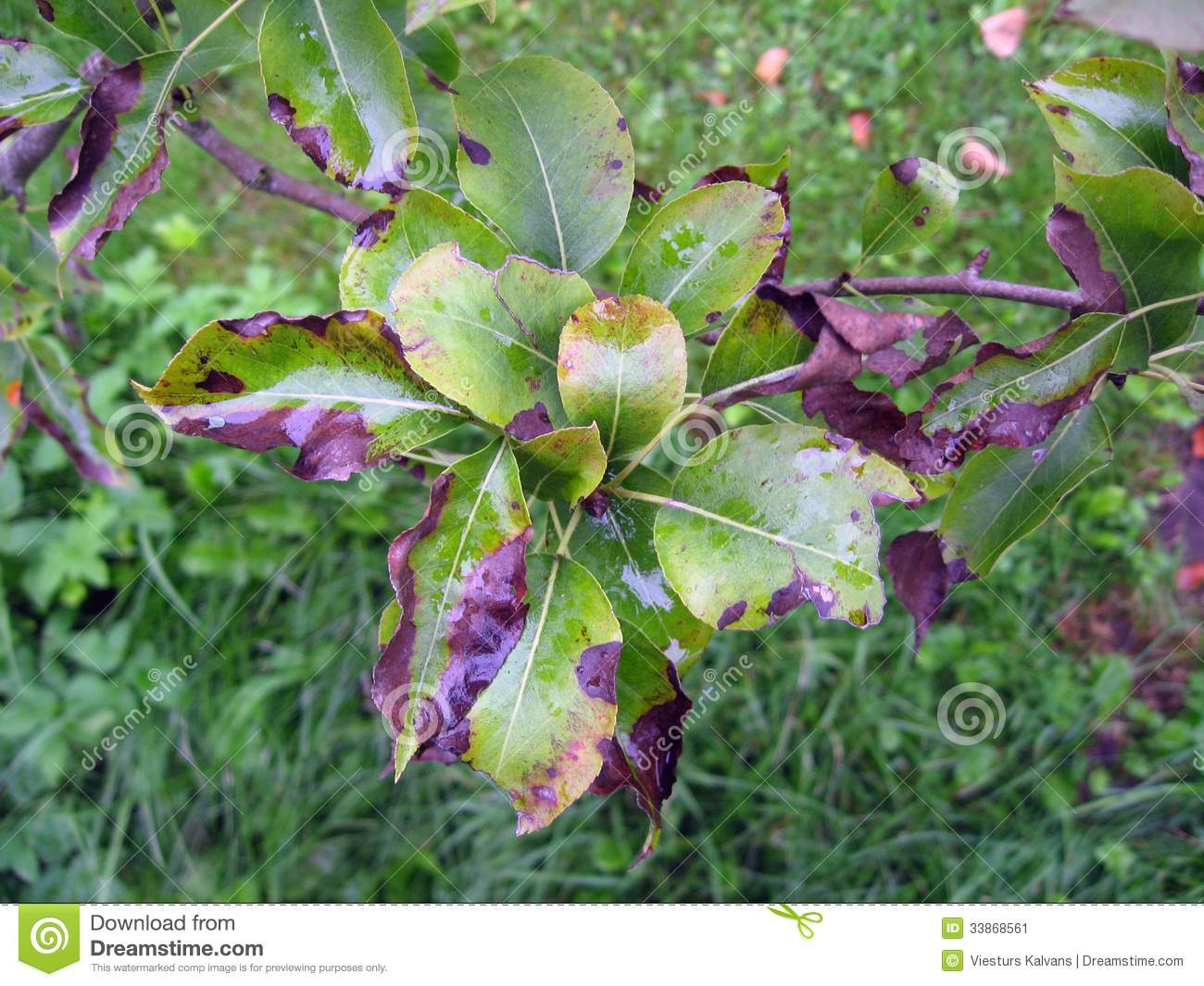 Fire Blight On Pear Tree Stock Image.