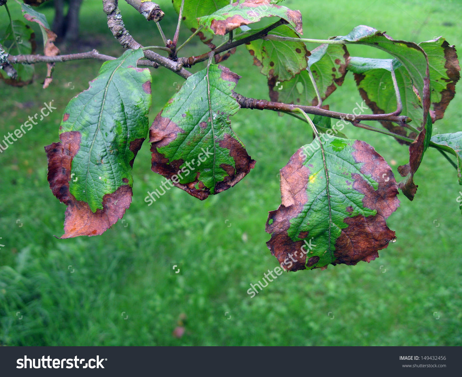 Bacterial Scorch Fire Blight On Apple Stock Photo 149432456.