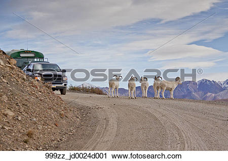 Stock Photography of Four young Dall Sheep rams block the road.