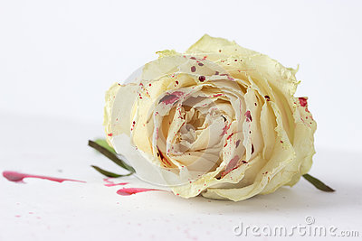 Bleeding White Rose Stock Photos, Images, & Pictures.