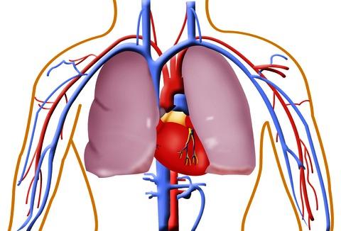 Circulatory System Images.