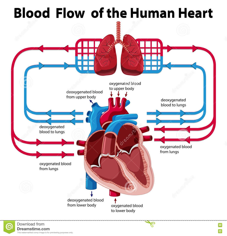 Diagram Of Blood Flow Through The Heart | blood flow clipart 5