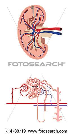 Clip Art of Renal blood flow k14738719.