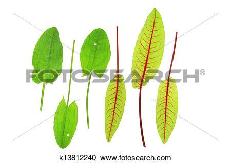 Stock Photography of Sorrel and blood sorrel k13812240.