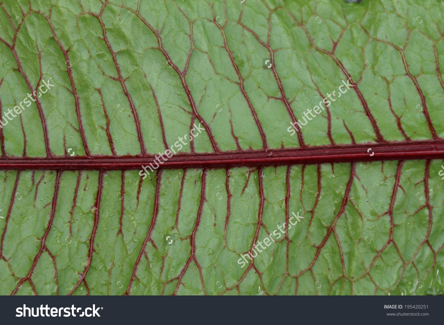 Green Leaves With Dark Red Veins Of The Blood Dock Red Sorrel.