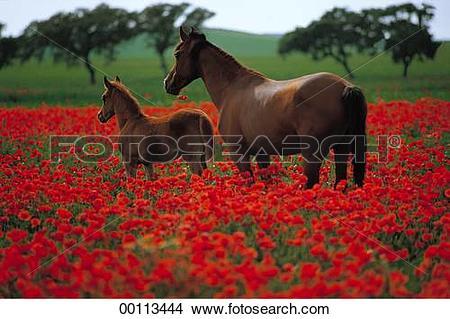 Stock Photo of Horse, Juniors, afield, animal, animals, blood.