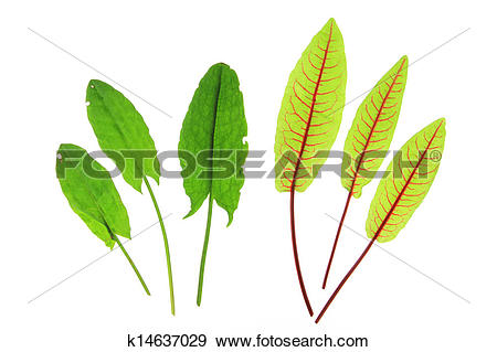 Stock Photograph of Sorrel and blood sorrel k14637029.