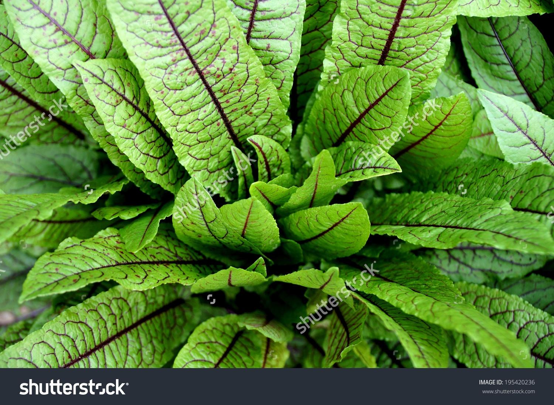 Green Leaves Dark Red Veins Blood Stock Photo 195420236.