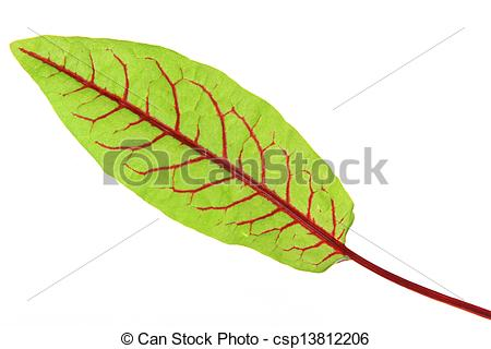 Stock Photography of Blood Sorrel (Rumex sanguineus), fresh leaves.