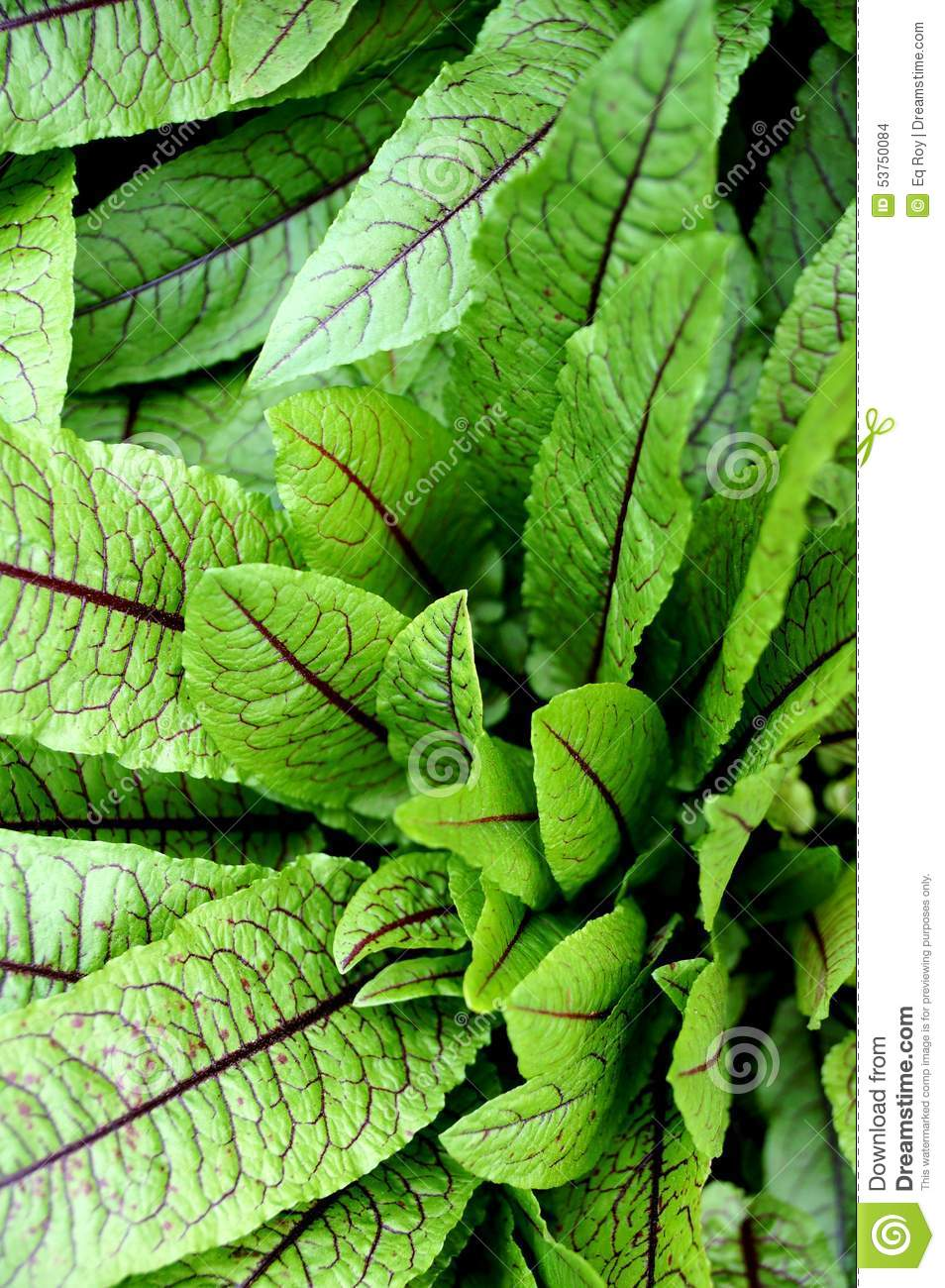 Blood Dock Red Sorrel Plant Rumex Sanguineus Stock Photo.