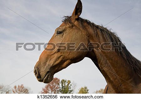 Stock Images of Dutch Warm Blood Horse k1352656.