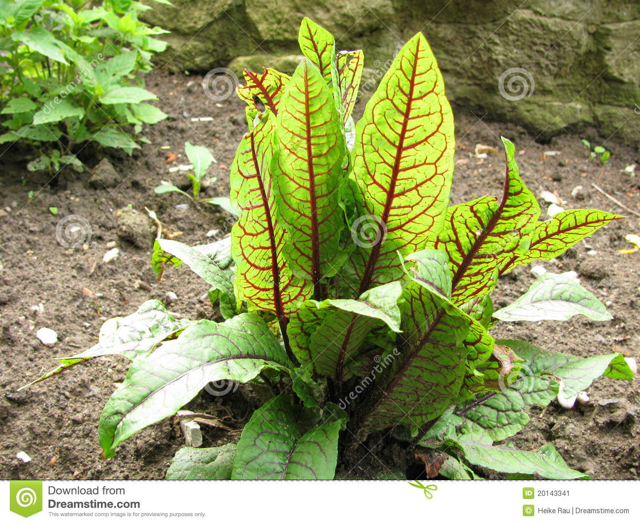 Sorrel And Blood Sorrel Royalty Free Stock Images.