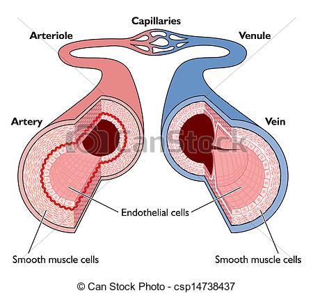 Blood vessels Illustrations and Clip Art. 3,659 Blood vessels.