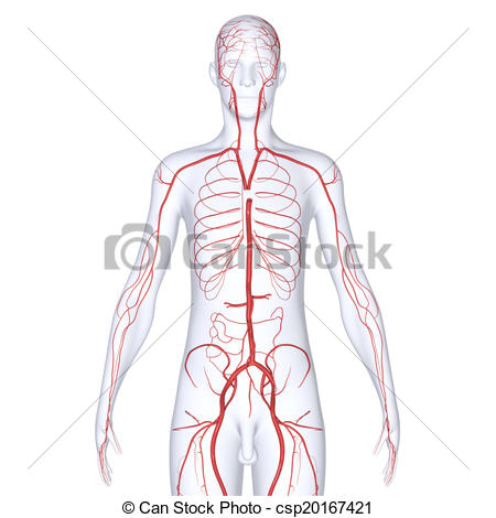 Blood vessels in a body clipart.