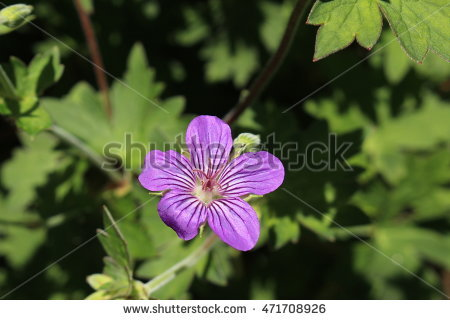 Cranesbill Stock Photos, Royalty.