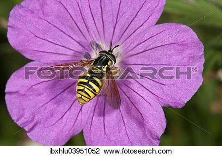 "Stock Photo of ""Hoverfly species (Chrysotoxum fasciatum."