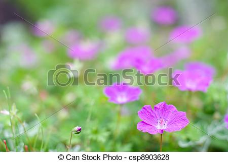 Pictures of Bloody cranesbill flower.