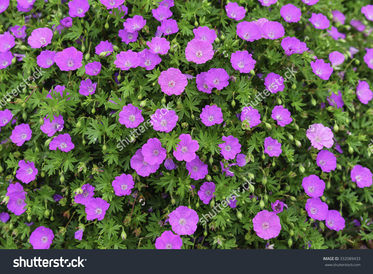 Blood Red Geraniums Binomial Name Geranium Stock Photo 332089433.