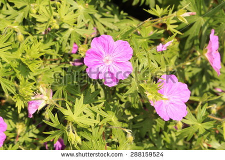 Native Geranium Stock Photos, Royalty.