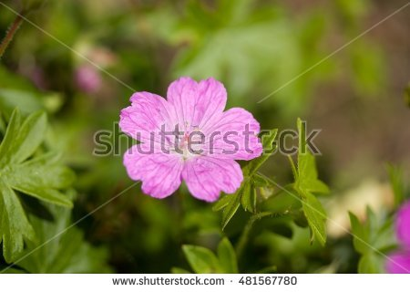 Lavender Geranium Stock Photos, Royalty.