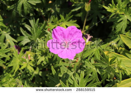 Geranium Species Stock Photos, Royalty.