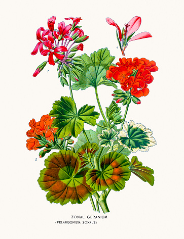 Geranium Clip Art, Vector Images & Illustrations.