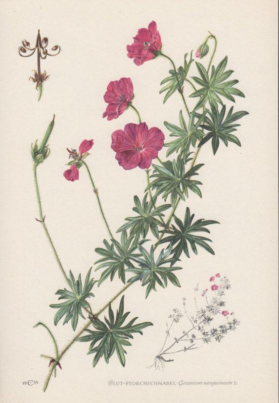 1950's Botanical Print, Geranium sanguineum, Bloody Geranium.