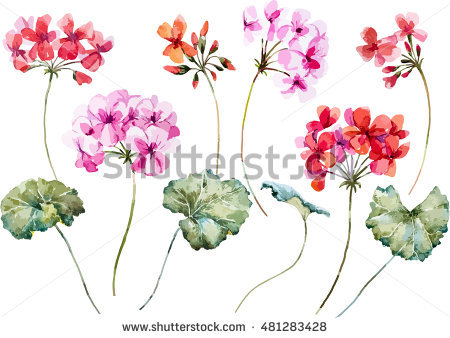 Geranium Stock Photos, Royalty.