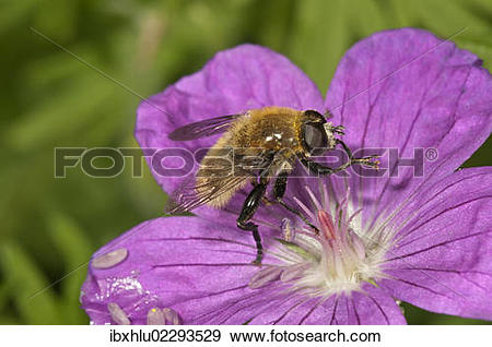 "Stock Photograph of ""Large narcissus fly (Merodon equestris), male."