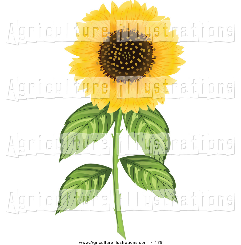 Agriculture Clipart of a Fully Bloomed Yellow Sunflower on a Thick.