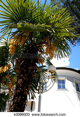 Stock Photo of Blooming palm tree k0086003.