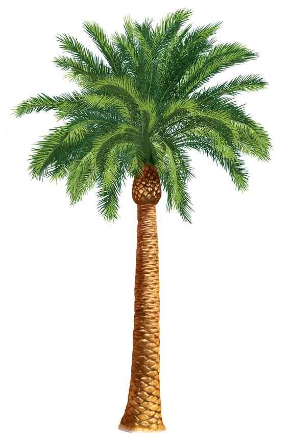 Blooming palm tree clipart #18