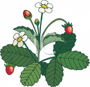 A_Blooming_Strawberry_Plant_Royalty_Free_Clipart_Picture_091012.