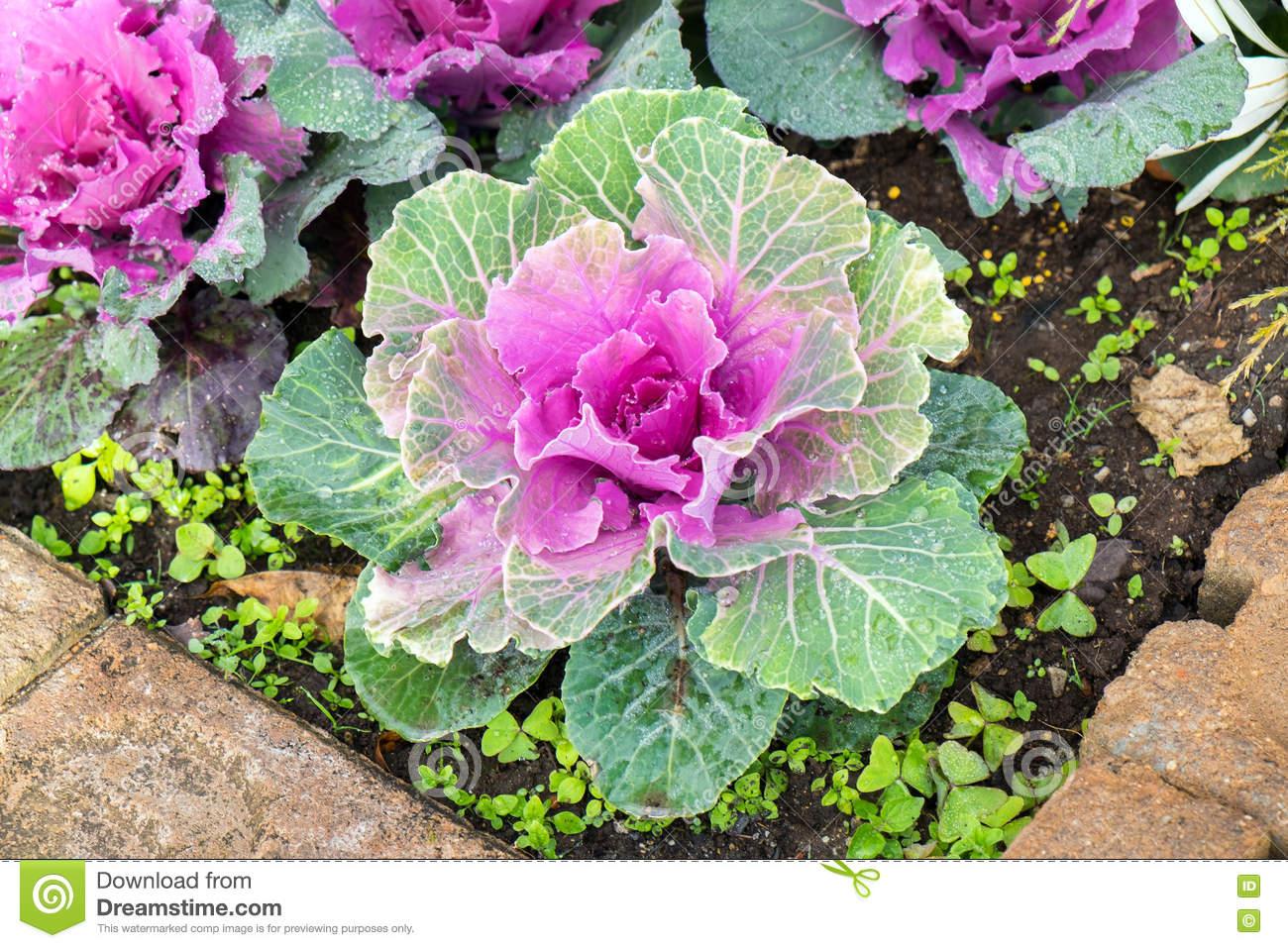 Cabbage Bloom Purple Green In Farm Stock Photo.