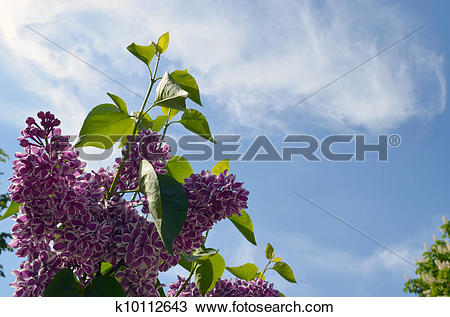 Stock Photo of Bloom purple lilac tree leaf on background of sky.