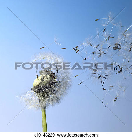 Stock Photograph of dandelion blowball and flying seeds k10148229.