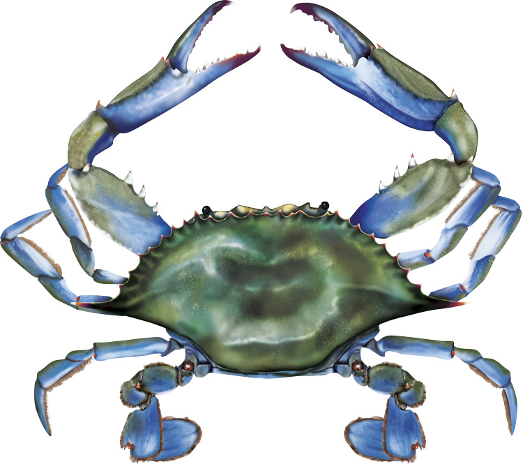 Maryland blue crab clipart.