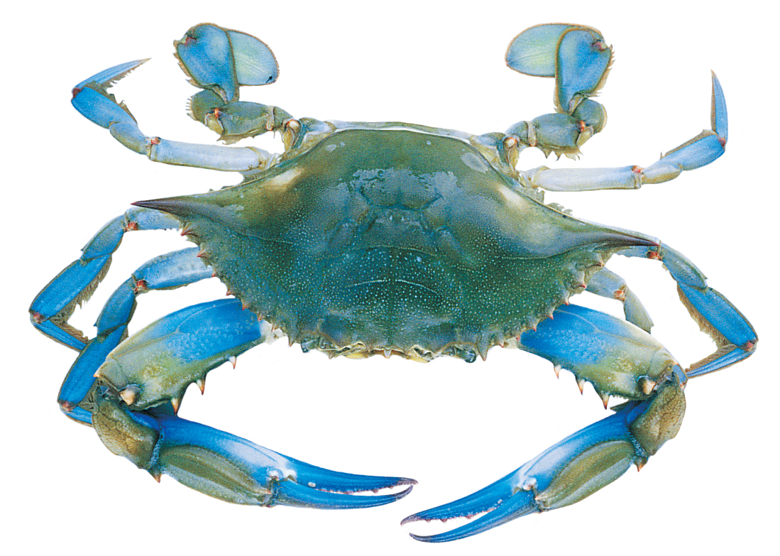 Free Female Crab Cliparts, Download Free Clip Art, Free Clip.